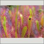 Bild 84 zum Bildarchiv Sonstige Pflanzen