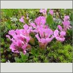 Bild 197 zum Bildarchiv Sonstige Blüten