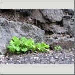 Bild 85 zum Bildarchiv Sonstige Pflanzen