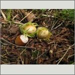 Bild 38 zum Bildarchiv Früchte/Samen