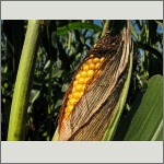 Bild 39 zum Bildarchiv Früchte/Samen