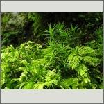 Bild 76 zum Bildarchiv Sonstige Pflanzen