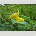 Bild 147 zum Bildarchiv Sonstige Blüten