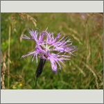 Bild 148 zum Bildarchiv Sonstige Blüten