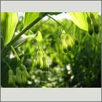 Bild 149 zum Bildarchiv Sonstige Blüten