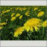 Bild 132 zum Bildarchiv Sonstige Blüten