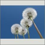 Bild 41 zum Bildarchiv Früchte/Samen
