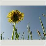 Bild 137 zum Bildarchiv Sonstige Blüten