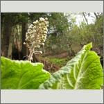 Bild 151 zum Bildarchiv Sonstige Blüten