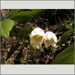 Bild 153 zum Bildarchiv Sonstige Blüten