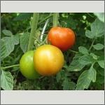 Bild 42 zum Bildarchiv Früchte/Samen