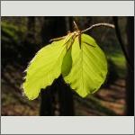 Bild 80 zum Bildarchiv Sonstige Pflanzen