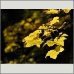 Bild 81 zum Bildarchiv Sonstige Pflanzen