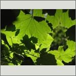 Bild 70 zum Bildarchiv Sonstige Pflanzen