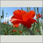 Bild 136 zum Bildarchiv Sonstige Blüten