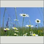 Bild 138 zum Bildarchiv Sonstige Blüten