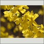 Bild 26 zum Bildarchiv Blüten Gehölze