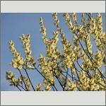 Bild 27 zum Bildarchiv Blüten Gehölze