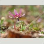 Bild 141 zum Bildarchiv Sonstige Blüten