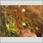 Bild 144 zum Bildarchiv Sonstige Blüten