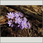 Bild 145 zum Bildarchiv Sonstige Blüten