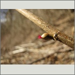 Bild 28 zum Bildarchiv Blüten Gehölze