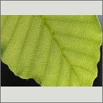 Bild 69 zum Bildarchiv Sonstige Pflanzen
