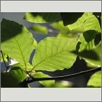 Bild 72 zum Bildarchiv Sonstige Pflanzen