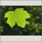 Bild 71 zum Bildarchiv Sonstige Pflanzen
