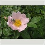 Bild 116 zum Bildarchiv Sonstige Blüten