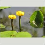 Bild 135 zum Bildarchiv Sonstige Blüten