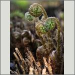 Bild 67 zum Bildarchiv Sonstige Pflanzen