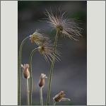 Bild 37 zum Bildarchiv Früchte/Samen