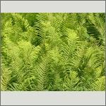 Bild 65 zum Bildarchiv Sonstige Pflanzen
