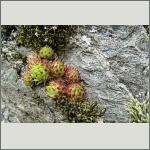 Bild 66 zum Bildarchiv Sonstige Pflanzen