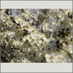 Bild 24 zum Bildarchiv Blüten Gehölze