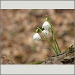 Bild 130 zum Bildarchiv Sonstige Blüten