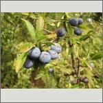 Bild 32 zum Bildarchiv Früchte/Samen
