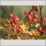 Bild 35 zum Bildarchiv Früchte/Samen