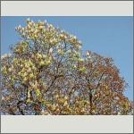 Bild 21 zum Bildarchiv Blüten Gehölze