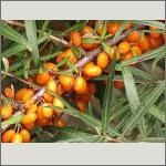 Bild 28 zum Bildarchiv Früchte/Samen