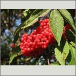 Bild 29 zum Bildarchiv Früchte/Samen