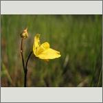 Bild 104 zum Bildarchiv Sonstige Blüten