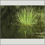 Bild 62 zum Bildarchiv Sonstige Pflanzen