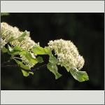 Bild 22 zum Bildarchiv Blüten Gehölze