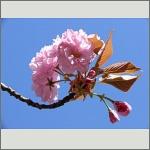 Bild 23 zum Bildarchiv Blüten Gehölze