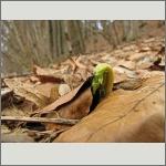 Bild 63 zum Bildarchiv Sonstige Pflanzen