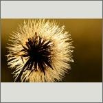 Bild 26 zum Bildarchiv Früchte/Samen