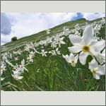 Bild 106 zum Bildarchiv Sonstige Blüten
