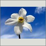 Bild 125 zum Bildarchiv Sonstige Blüten